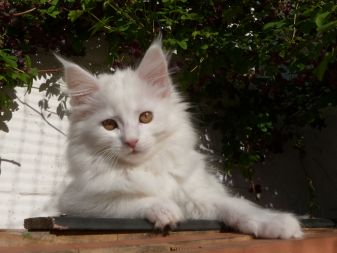 Chatterie Coon Toujours, Raven de Coon Toujours, chaton femelle, maine coon, blanche, 12 semaines