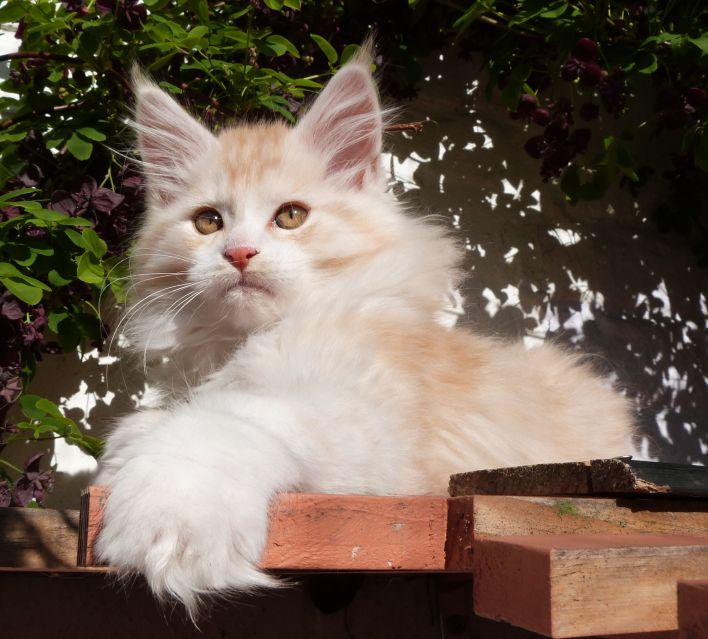 Chatterie Coon Toujours, Ralf de Coon Toujours, chaton mâle, mane coon, red silver mackerel tabby et blanc, 12 semaines