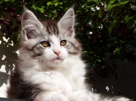 Chatterie Coon Toujours, Rio de Coon Toujours, chaton mâle, maine coon, black silver mackerel tabby et blanc, 12 semaines