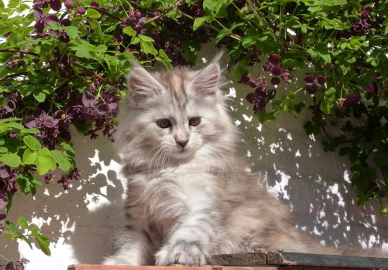 Chatterie Coon Toujours, Raeggae Night de Coon Toujours, chaton femelle, maine coon, black tortie silver blotched tabby, 12 semaines