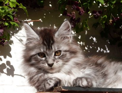 Chatterie Coon Toujours, R'Pookie de Coon Toujours, chaton femelle, maine coon, 12 semaines, black silver mackerel tabby