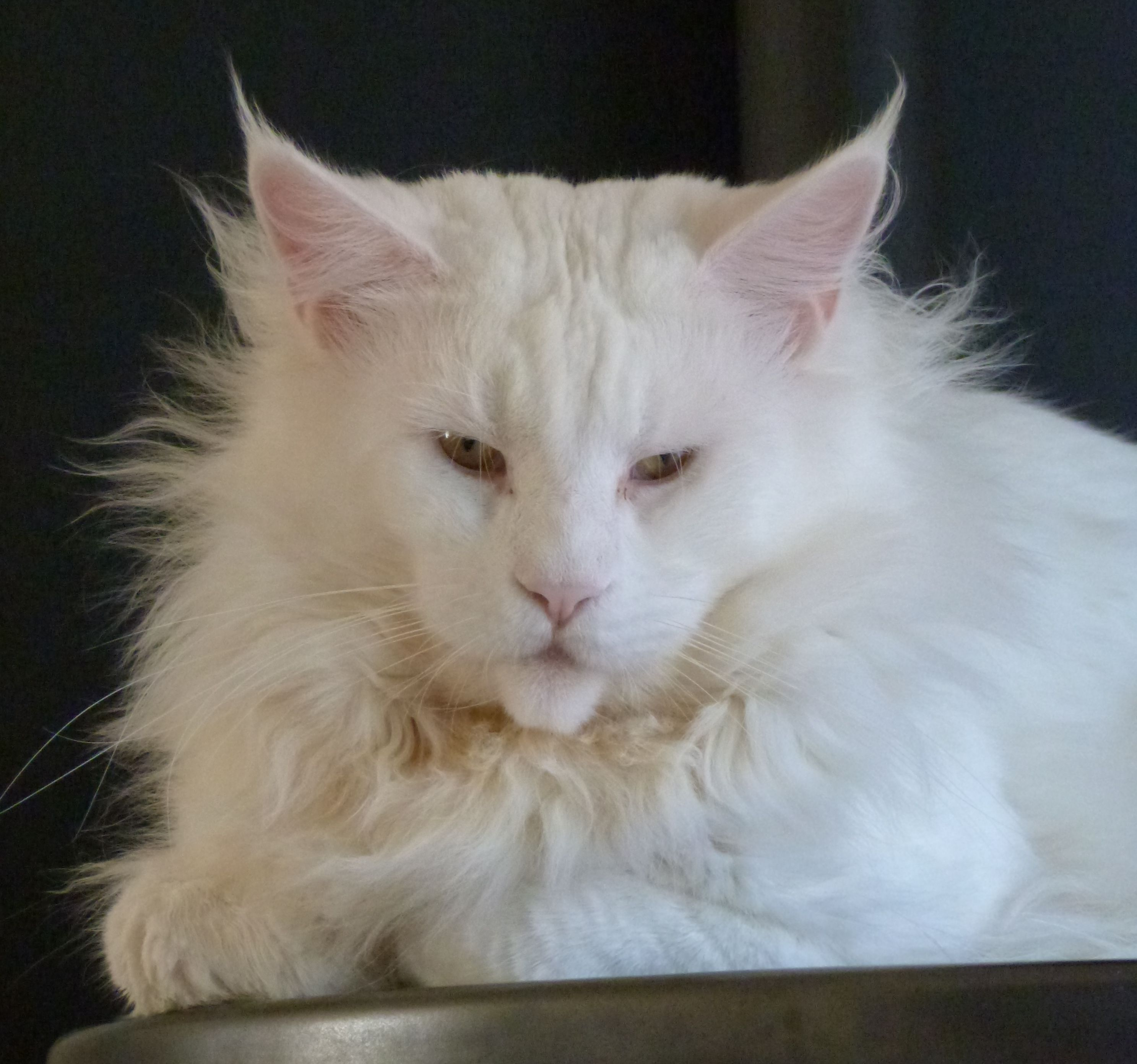 Chatterie Coon Toujours, Mastok, maine coon mâle, blanc, 3 ans