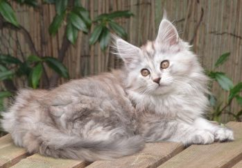 Chatterie Coon Toujours, Raeggae Niht de Coon Toujours, maine coon, chaton femelle, 13 semaines, black tortie silver blotched tabby
