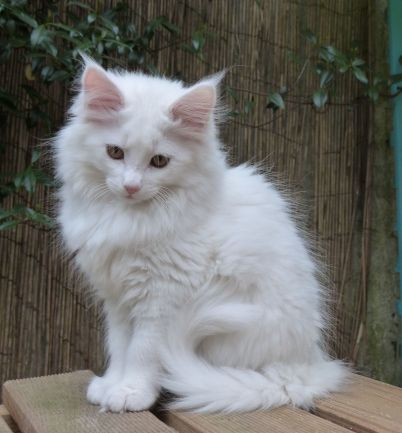 Chatterie Coon Toujours, Raven de Coon Toujours, maine coon, chaton femelle, blanche, 13 semaines