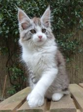 Chatterie Coon Toujours, Rio de Coon Toujours, maine coon, chaton mâle, 13 semaines, black silver mackerel tabby et blanc
