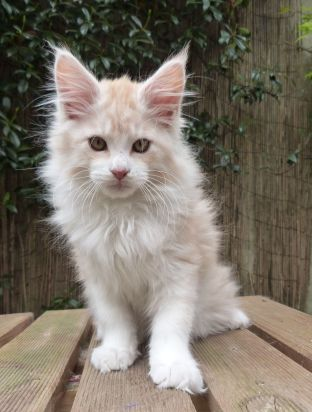 Chatterie Coon Toujours, Ralf de Coon Toujours, maine Coon, chaton mâle, 13 semaines, red silver mackerel tabby et blanc