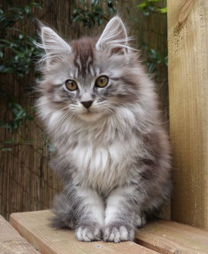 Chatterie Coon Toujours, R'Pookie de Coon Toujours, maine coon, chaton femelle, 13 semaines, black silver mackerel tabby