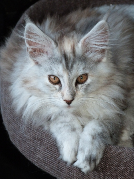 Chatterie Coon Toujours, Raeggae Night de Coon Toujours, femelle maine coon, black tortie silver blotched tabby, 14 semaines