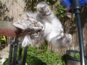 Chatterie Coon Toujours, R'Pookie de Coon Toujours, chaton femelle, maine coon, black silver mackerel tabby, 14 semaines