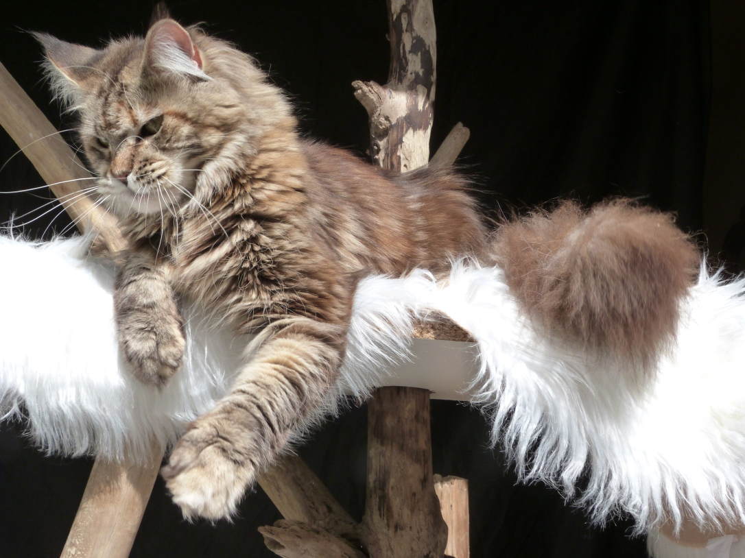 Chatterie Coon Toujours, Zazou, femelle maine coon, brown tortie blotched tabby