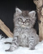 Chatterie Coon Toujours, Ragna'Rock de Coon Toujours, chaton maine coon femelle, 7 semaines, black silver mackerel tabby