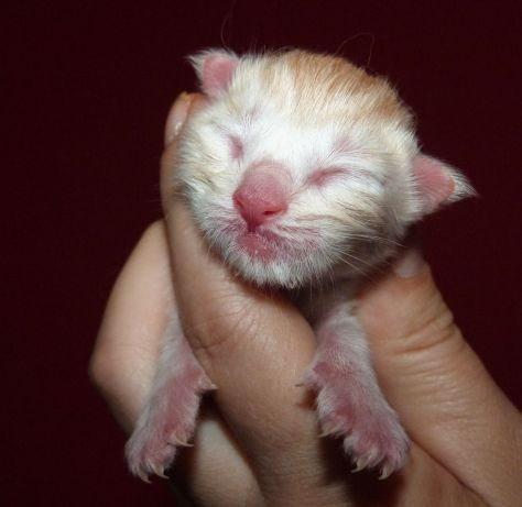 Chatterie Coon Toujours, chaton mâle, red silver blotched tabby