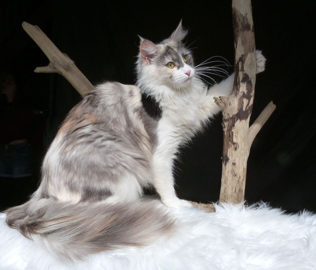 Chatterie Coon Toujours, Oki-Doki, femelle maine coon, black tortie smoke et blanc, merle