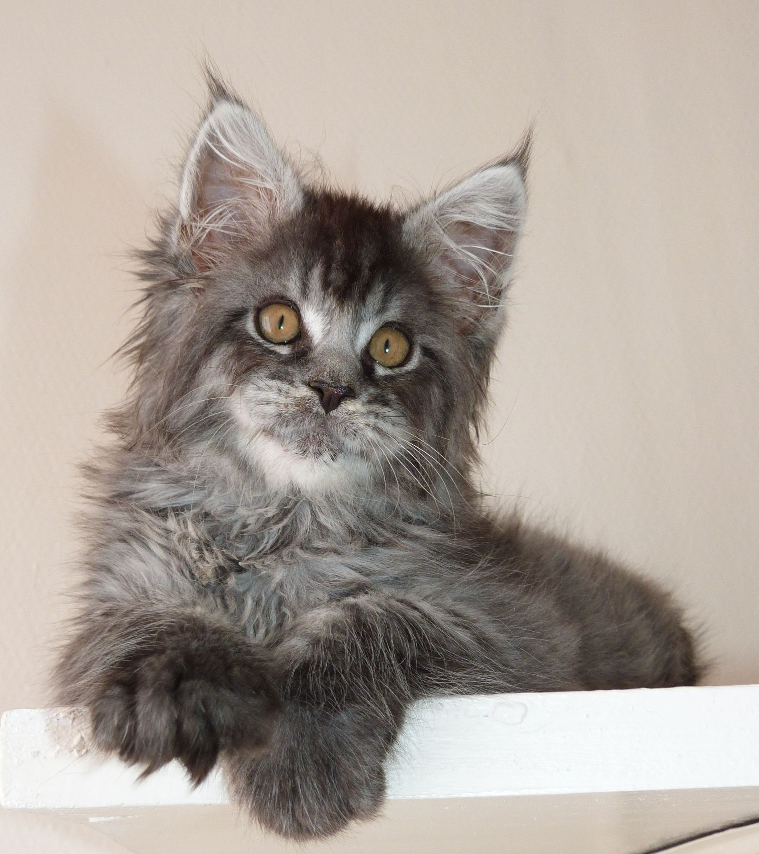 Ragna'Rock de Coon Toujours, Chatterie Coon Toujours, femelle maine coon, 3 mois, black silver mackerel tabby