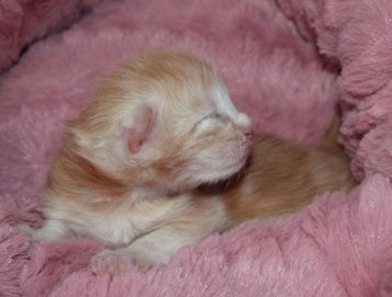 Chatterie Coon Toujours, Red Light Fever, chaton maine coon mâle, red silver blotched tabby, une semaine