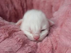 Chatterie Coon Toujours, Requiem pour un fou, chaton maine coon mâle blanc, une semaine