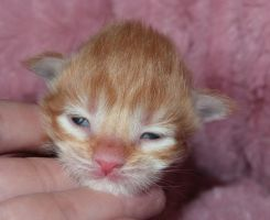 Chatterie Coon Toujours, Rock the Casbah, chaton maine coon mâle red mackerel tabby, une semaine