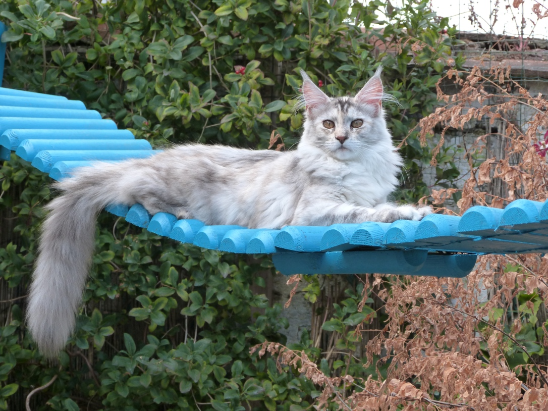 Chatterie Coon Toujours, Raeggae Night de Coon Toujours, femelle maine coon, 6 mois, black tortie silver blotched tabby, pâle silver