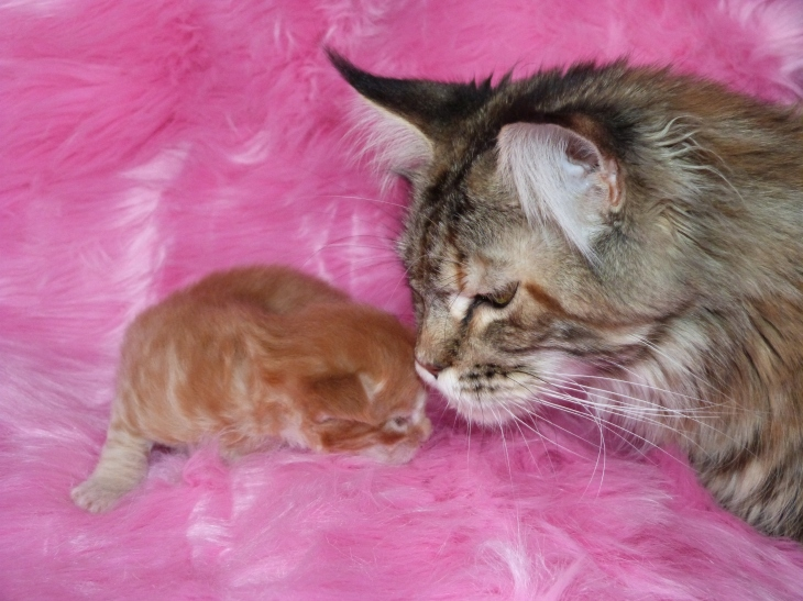 Chatterie Coon Toujours, Red the Casbah, chaton mâle, maine coon, 2 semaines, red mackerel tabby