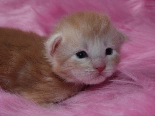 Chatterie Coon Toujours, Red fever Light, chaton maine coon, mâle, deux semaines, red silver blotched tabby