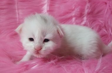 Chatterie Coon Toujours, chaton maine coon, femelle, deux semaines, blanche