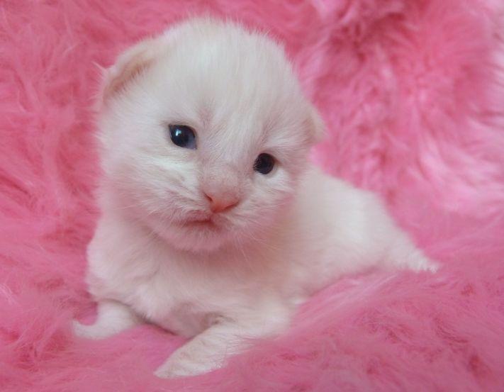 Chatterie Coon Toujours, Requiem pour un fou, chaton mâle, maine coon, deux semaines, blanc