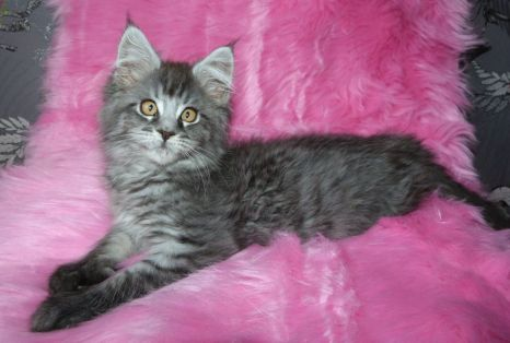 Chatterie Coon Toujours, Ragna'Rock de Coon Toujours, chaton femelle, maine coon, 12 semaines, black silver mackerel tabby