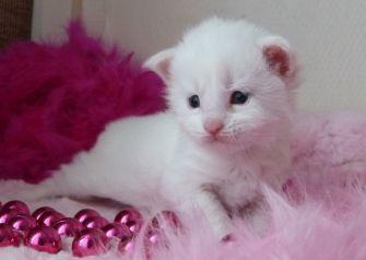 Chatterie Coon Toujours,Requiem pour un fou de Coon Toujours, chaton maine coon mâle, trois semaines, blanc