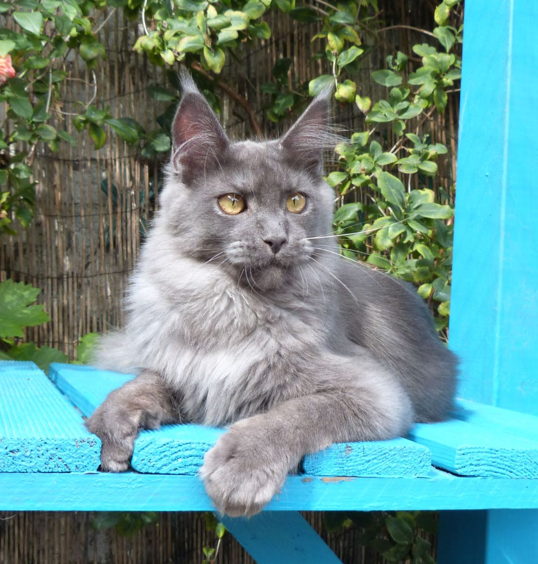 Chatterie Coon Toujours, Voodoo Night, maine coon mâle 8 mois, bleu smoke