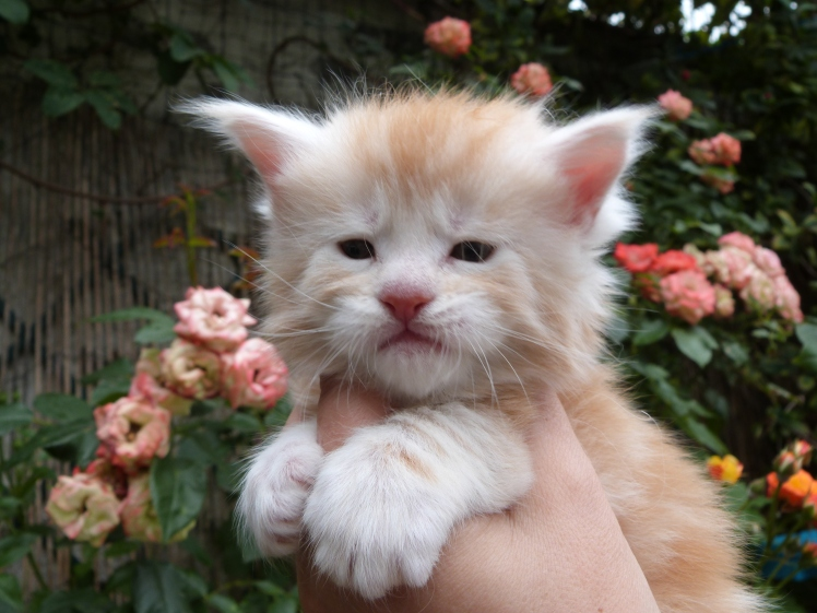 Chatterie Coon Toujours, Red Light Fever de Coon Toujours, chaton maine coon mâle, 4 semaines, red silver blotched