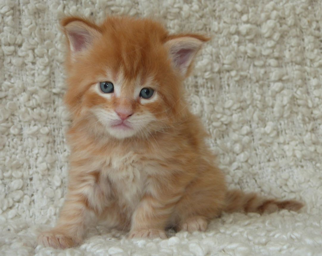 Chatterie Coon Toujours, Red Hot de Coon Toujours, chaton maine coon mâle, 4 semaines, red mackerel tabby