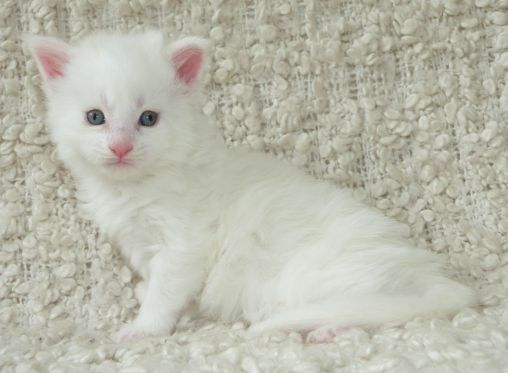 Chatterie Coon Toujours, Roswell de Coon Toujours, chaton maine coon mâle, 4 semaines, blanc