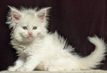 Chatterie Coon Toujours, Riverside de Coon Toujours, chaton maine coon femelle, blanche, 6 semaines