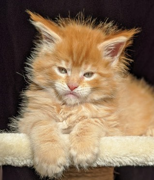 Chatterie Coon Toujours, Red Hot de Coon Toujours, chaton maine coon mâle, red mackerel tabby, 6 semaines