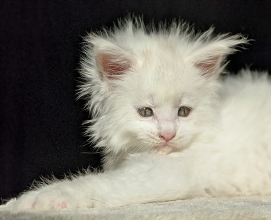 Chatterie Coon Toujours, Roswell de Coon Toujours, chaton maine coon mâle, blanc, 6 semaines