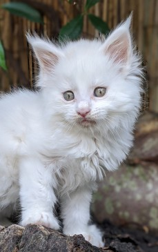 Chatterie Coon Toujours, Roswell de Coon Toujours, chaton maine coon mâle, 7 semaines, blanc