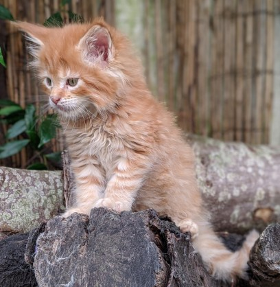 Chatterie Coon Toujours, Red Hot de Coon Toujours, chaton maine coon mâle, 7 semaines, red mackerel tabby