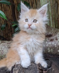 Chatterie Coon Toujours, Ryuk de Coon Toujours, chaton maine coon mâle, 7 semaines, red silver blotched tabby
