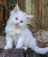 Chatterie Coon Toujours, Riverside de Coon Toujours, chaton maine coon femelle, 7 semaines, blanche