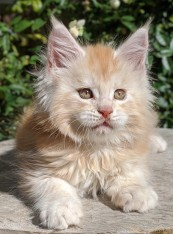 Chatterie Coon Toujours, Ryuk de Coon Toujours, maine coon mâle, chaton 8 semaines, red silver blotched tabby