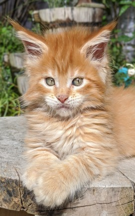 Chatterie Coon Toujours, Red Hot de Coon Toujours, maine coon mâle, chaton 8 semaines, red mackerel tabby