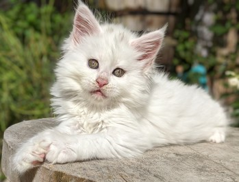 Chatterie Coon Toujours, Riverside de Coon Toujours, maine coon femelle, chaton 8 semaines, blanche