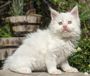 Chatterie Coon Toujours, Roswell de Coon Toujours, maine coon mâle, chaton 8 semaines, blanc