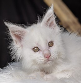 Chatterie Coon Toujours, Roswell de Coon Toujours, chaton mâle, blanc, 9 semaines