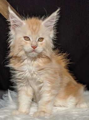 Chatterie Coon Toujours, Ryuk de Coon Toujours, chaton mâle, red silver blotched tabby, 9 semaines