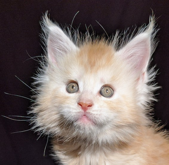 Chatterie Coon Toujours, Ryuk de Coon Toujours, chaton maine coon mâle, red silver blotched tabby, 6 semaines