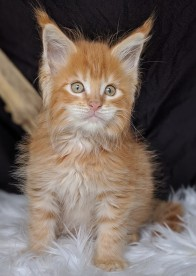 Chatterie Coon Toujours, Red Hotde Coon Toujours, chaton maine coon mâle, 9 semaines, red mackerel tabby
