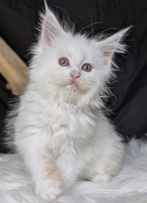 Chatterie Coon Toujours, Riverside de Coon Toujours, chaton maine coon femelle, 9 semaines, blanche