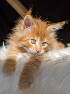 Chatterie Coon Toujours, Red Hot de Coon Toujours, chaton maine coon mâle, 9 semaines, red mackerel tabby
