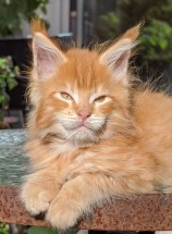 Chatterie Coon Toujours, Red Hot de Coon Toujours, chaton maine coon mâle, 10 semaines, red mackerel tabby